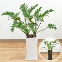 独特の葉と幹が魅力的な観葉植物観葉植物 フィロデンドロン・クッカバラ スクエア陶器鉢植え【...