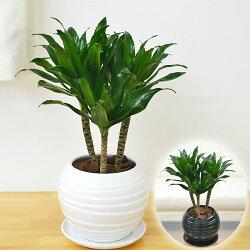 観葉植物ドラセナ・コンパクターボール型陶器鉢植え5号