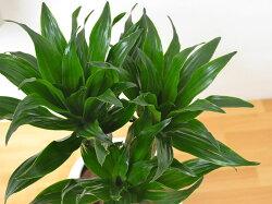 観葉植物ドラセナ・コンパクターボール型陶器鉢植え5号葉の拡大