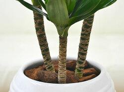 観葉植物ドラセナ・コンパクターボール型陶器鉢植え5号茎の拡大