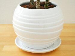 観葉植物ドラセナ・コンパクターボール型陶器鉢植え5号陶器鉢の拡大