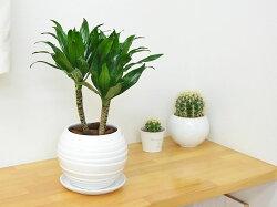 観葉植物ドラセナ・コンパクターボール型陶器鉢植え5号イメージ