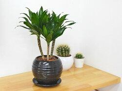 観葉植物ドラセナ・コンパクターボール型陶器鉢植え5号ブラック陶器鉢イメージ