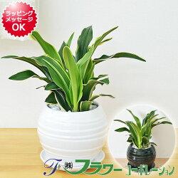 観葉植物万年青(オモト)甲竜ボール型陶器鉢植え