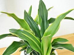 観葉植物万年青(オモト)甲竜ボール型陶器鉢植え葉の拡大
