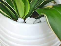 観葉植物万年青(オモト)甲竜ボール型陶器鉢植え白石の拡大