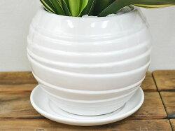 観葉植物万年青(オモト)甲竜ボール型陶器鉢植え陶器鉢の拡大