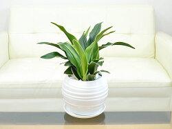 観葉植物万年青(オモト)甲竜ボール型陶器鉢植えイメージ