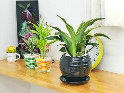 観葉植物万年青(オモト)甲竜ボール型陶器鉢植えブラック陶器鉢イメージ
