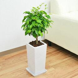 観葉植物 ベンジャミン(フィカス・ベンジャミナ) スクエア陶器鉢植え 5号