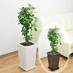 観葉植物 パンダガジュマル スクエア陶器鉢植え 7号