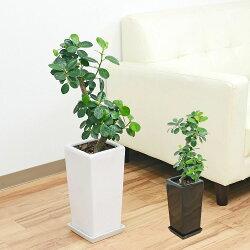 観葉植物 パンダガジュマル スクエア陶器鉢植え 6号