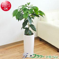 【送料無料】観葉植物 コーヒーの木 円柱形陶器鉢植え 7号