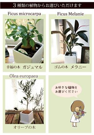ガジュマルの木・ゴムの木メラニーからどれかひとつ選べる