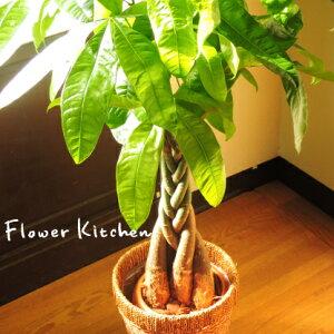 ★楽天1位 観葉植物★パキラ の鉢植え7号鉢 選べる観葉植物 【カゴ付き】【受け…