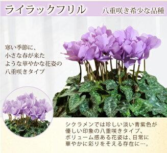 フリルブルー【送料無料】セレナーディア青いシクラメン
