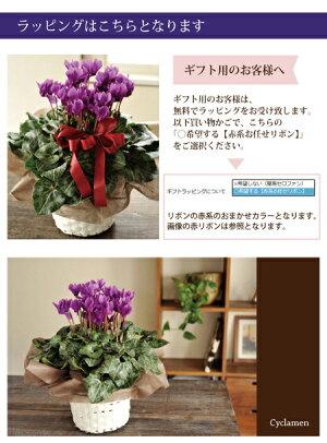 【送料無料】セレナーディア青いシクラメン