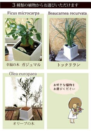【ガジュマル】【トックリラン】【オリーブの木】