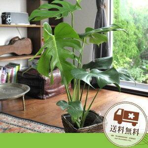 モンステラ選べる観葉植物4種類  バナナカゴ付き