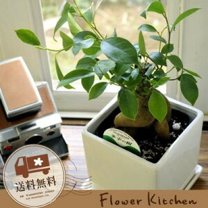 ガジュマル5号 選べる観葉植物5種類
