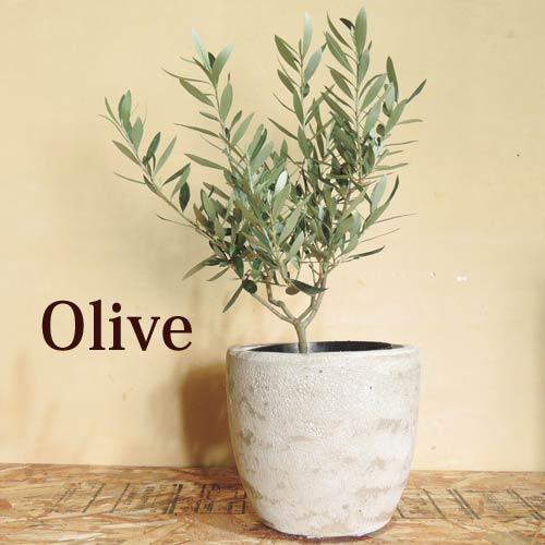 (観葉)『 オリーブ × 選べるカラー アンティークポットシリーズ 』 観葉植物 オリーブの木 苗木 鉢植 販売 誕生日 開店 新築祝い お祝い オリーブの実 グリーンギフト FKTK