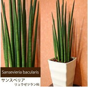 サンスベリア バキュラリス サンセベリア 多肉植物 マイナス インテリア インドア グリーン