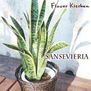 シリーズ サンスベリア サンセベリア 多肉植物 インテリア