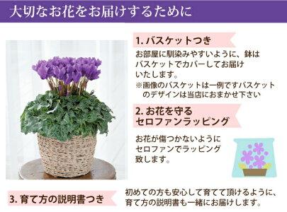 ラッピング【送料無料】セレナーディア青いシクラメン