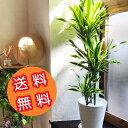 全国送料無料!観葉植物 ドラセナ フィカス サンスベリア 8号鉢 選べる観葉 育てやす……