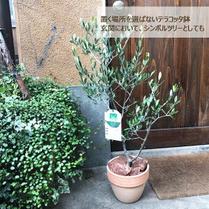 (観葉)【一律送料無料】オリーブ5号テラコッタ鉢バークチップつき観葉植物ギフトプレゼントオリーブの木苗木鉢植え販売誕生日開店祝移転祝新築祝引越祝結婚祝新生活インテリアFKTK