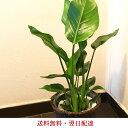 観葉植物 ストレリチアの鉢植え7号鉢 選べる観葉【カゴ付き】...