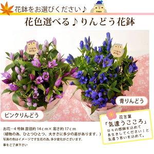 りんどう花鉢
