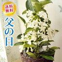 父の日プレゼント 贈り物 花鉢 マダガスカルジャスミン 4号鉢 マダガスカルジャ