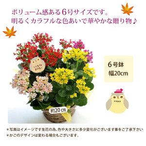 カランコエミックス花鉢サイズ