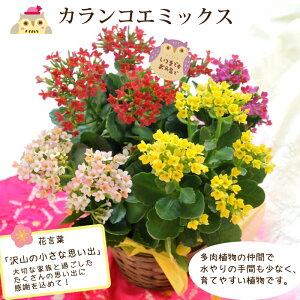 カランコエミックス花鉢