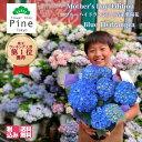 母の日 あじさい 鉢植え [青い 紫陽花 カゴ付] プレゼント 宅配 花 ブルー セット 母の日ギフト 鉢 長持ち 指定日 送料無料 ボリューム フラワーショップ パイン 母の日青 花鉢 贈る おしゃれ ギフト 誕生日 ギフトお祝い・・・