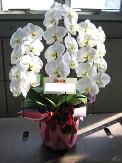 花 こだわりの生産者厳選最高級胡蝶蘭