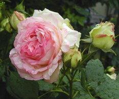 ピエールドゥロンサール【京成バラ園】クラシカルな花姿繊細な色合いがが美しい品種です。【京成バラ園】【クライミングローズ(つるバラ)】