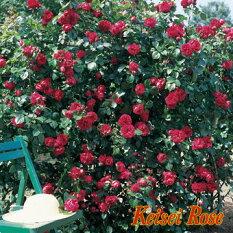 ルージュピエールドゥロンサール【京成バラ園】四季咲き性のつるばらで、ゴージャスなクリムゾンレッドのお花と濃厚な香りが楽しめます!【京成バラ園】【クライミングローズ(つるバラ)】