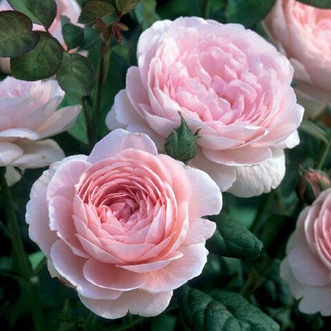 ※12月中旬より順次出荷予定※ クィーン・オブ・スウェーデン【イングリッシュローズ】強健で耐寒性に優れていますオールドローズの性質を受け継いでおり、まろやかなミルラの香りが楽しめますバラ 薔薇 大苗 デビッドオースチン