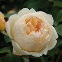 ジュード・ジ・オブスキュア【イングリッシュローズ】イングリッシュローズの中でも強い香りを持つ品種ですバラ 薔薇 大苗 デビッドオースチン