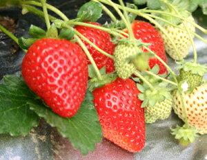 【いちご】手軽で簡単に栽培できます!ビタミンCが豊富お肌つるつる風邪ひかず♪有名品種のイチ...