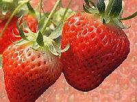 有名品種のイチゴの苗