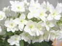 カシワバアジサイ【柏葉スノーフレーク】4号ポット清楚な花色が 梅雨の雨によく映えます★柏葉あじさい【八重咲き】 4号ポット