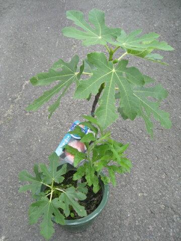 いちじくの苗 【日本種】 4号鉢強健な植物なので、手軽に栽培できます!糖度が高く最高に甘いです!!有名イチジク苗各種♪ 4号鉢