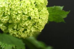 スノーボール 5号ポット白くてボリュームのあるお花がお庭を華やかにしてくれます♪  スノー...