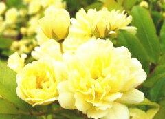 バラ鮮やかな黄色でお庭にゴージャス感を★モッコウバラ【イエロー】 3.5号ポット