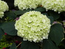 ※切り戻し中※アナベル【アジサイ】3.5号ポット 美しい純白のアジサイです★耐寒性が強く、強健なので育てやすい品種です!アナベル【あじさい】3.5号ポット