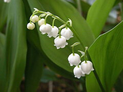 ドイツすずらん【ホワイト】【花終わり】初夏を感じる涼しげなお花♪清楚なホワイトガーデンを...