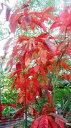 スズランの木  3.5号ポット世界三大紅葉樹のひとつです♪耐寒性・耐暑性に優れた育てやすい木です!ス...